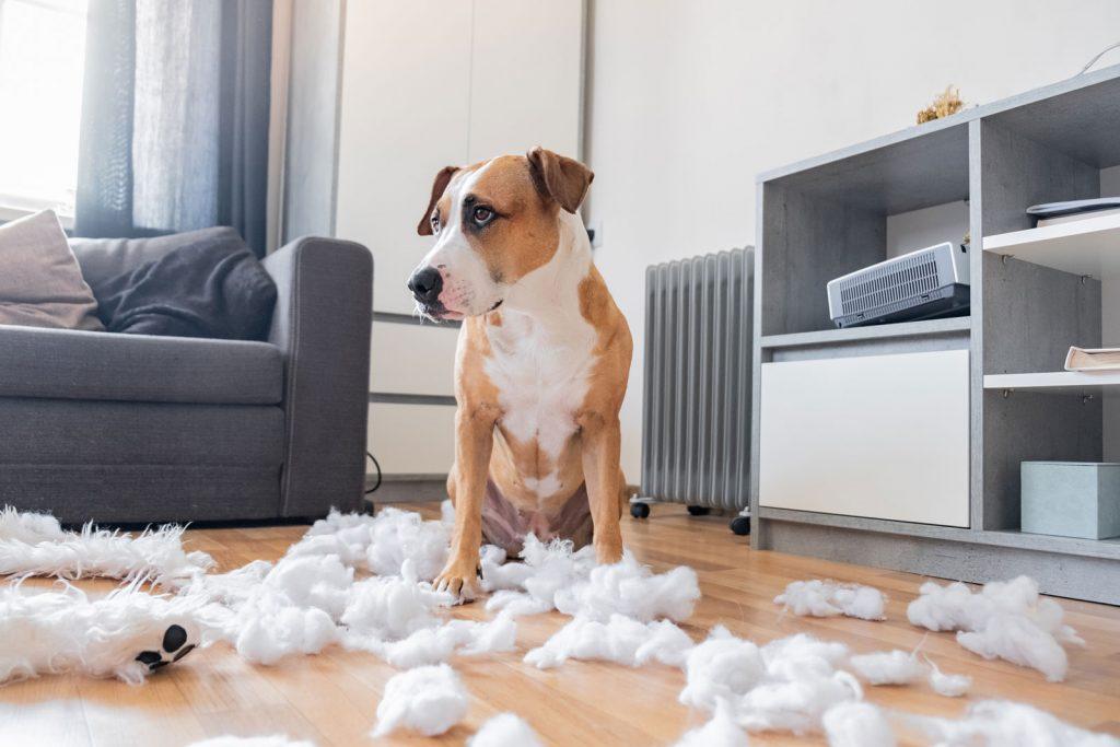 Hund zerstört Kissen - Fragen zur Haushaltsversicherung für Studenten